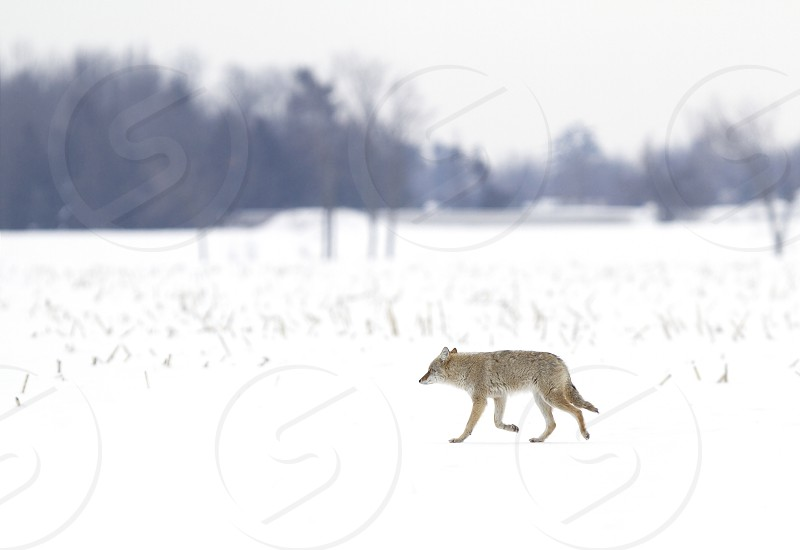 Coyote walking in the winter snow photo
