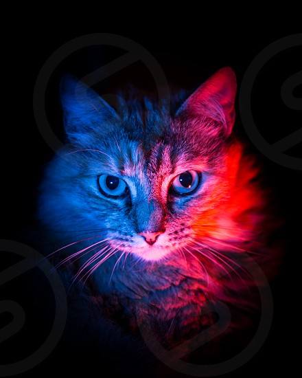 A beautiful portrait of a serious fluffy cat in a two different color. Artificial light on a black background. photo