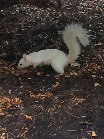Albino squirrel  photo