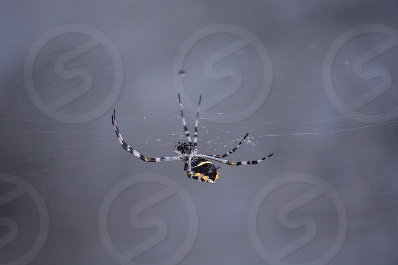 black and yellow argiope spider photo