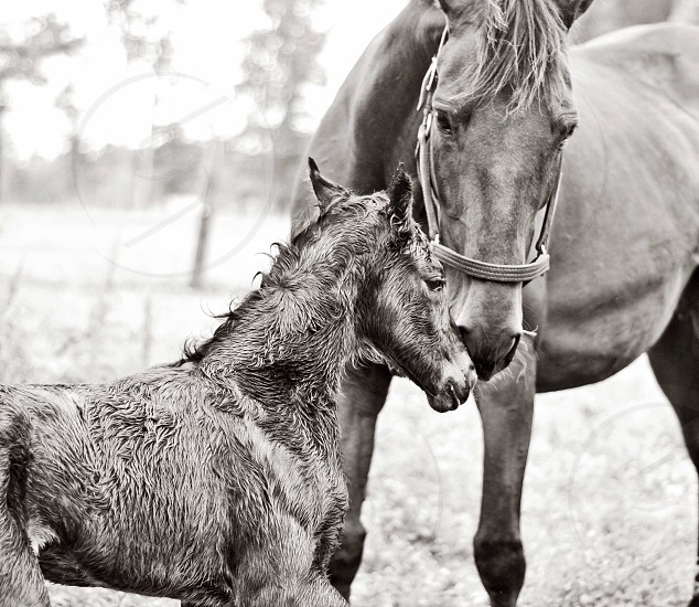 Newborn horse spring mothers black and white photo