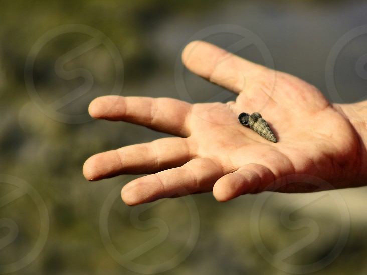 A small spiral seashell in offered in a child's hand. photo