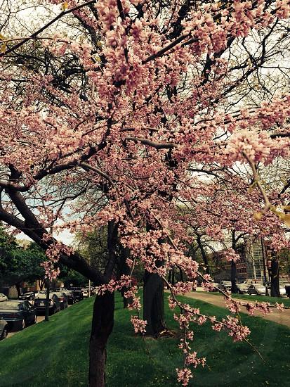 Spring nature cherry trees  photo