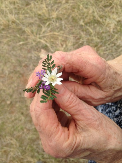wrinkly hands fragile old wildflowers weeds  photo