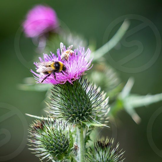 Buff-tailed bumblebee (Bombus terrestris) gathering pollen from a Thistle photo