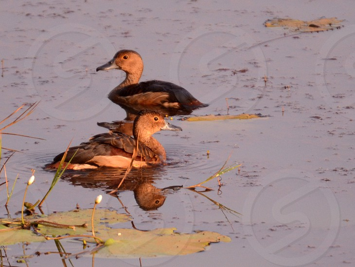 Lesser whistling ducks in  a small lake in Goa India  photo