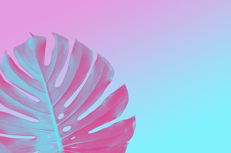 Tropical Jungle monster leaf on a ultra violet pink and blue duotone summer background with space for text flat lay photo