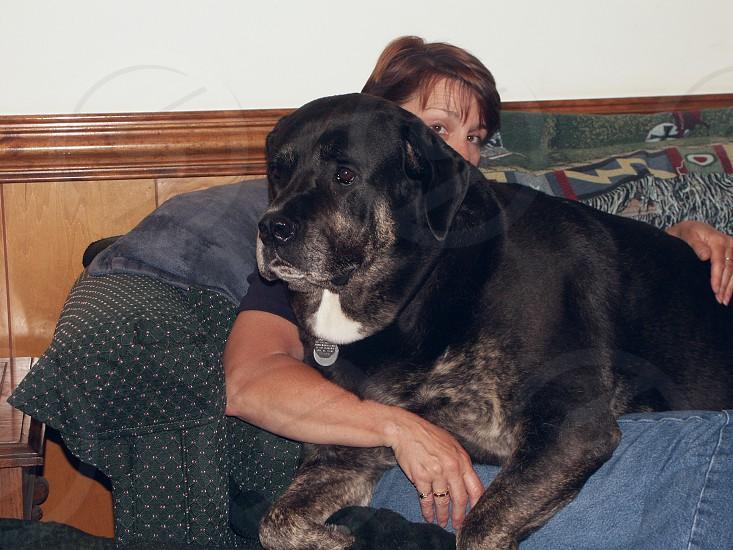 Lap dog. 160 pound cane corso Caesar and my wife photo