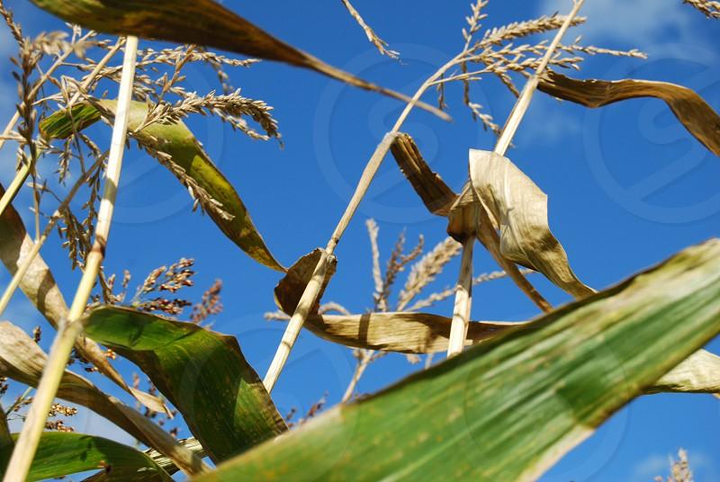 Blue sky through corn stalks. photo