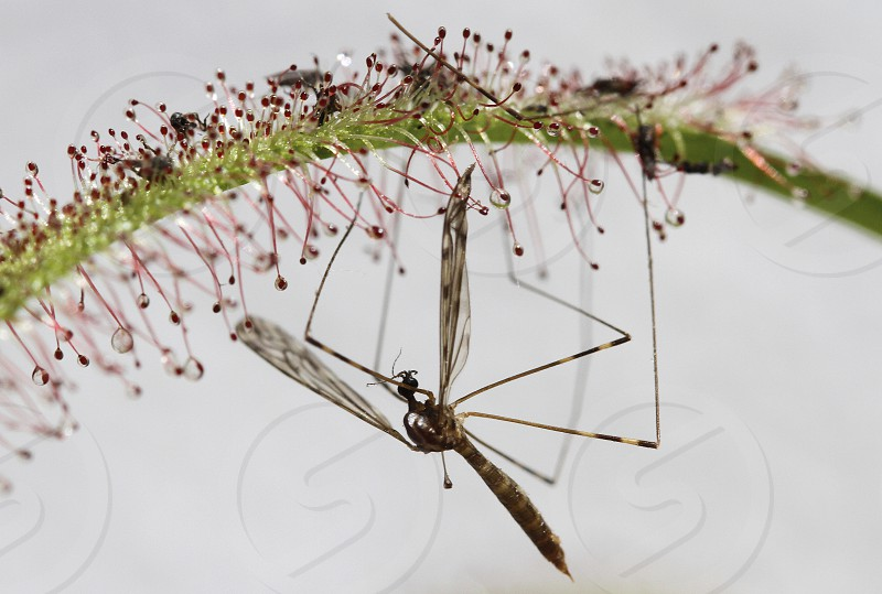 A mosquito trapped on a Drosera Capensis carnivorous plant species photo