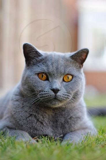 Kitten cat British shorthair British blue outside daylight photo