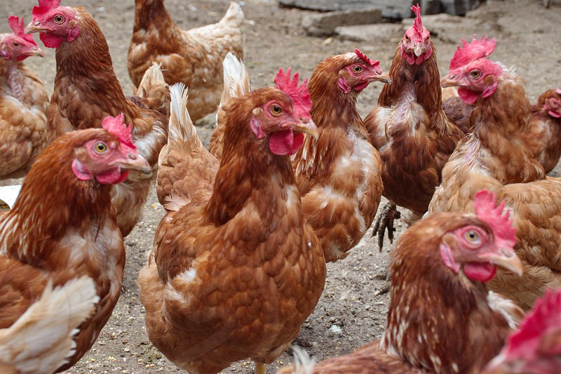 Closeup of chickens on the rural farm in Croatia photo