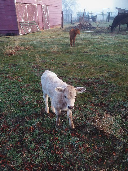 white and brown calf photo