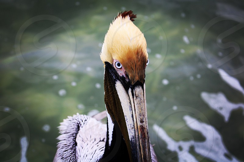 Pelican by the dock photo