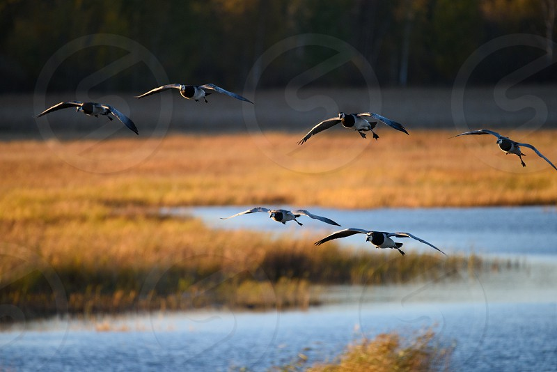 Geese flying over Laajalahti protected nature area in Northern Espoo Finland on 2 October 2016.  photo