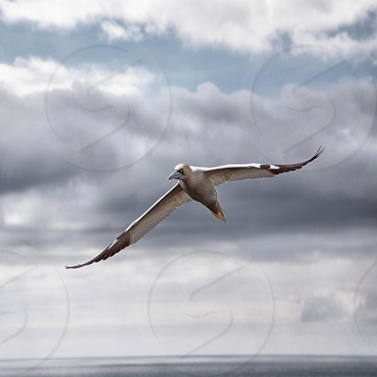 Bird flying air cloud wings wing gannet wildlife sky clouds nature  photo