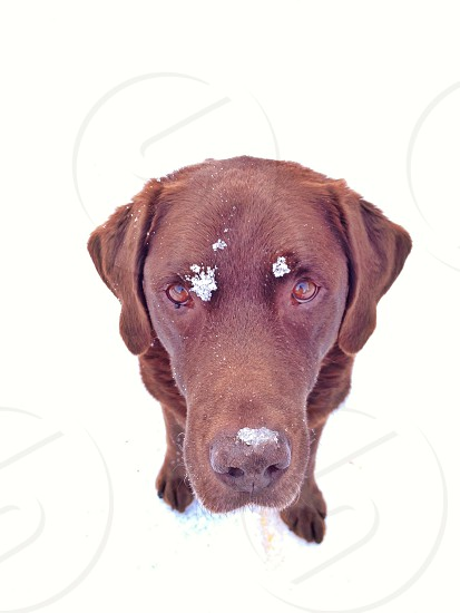 Chocolate Labrador retriever in the snow photo