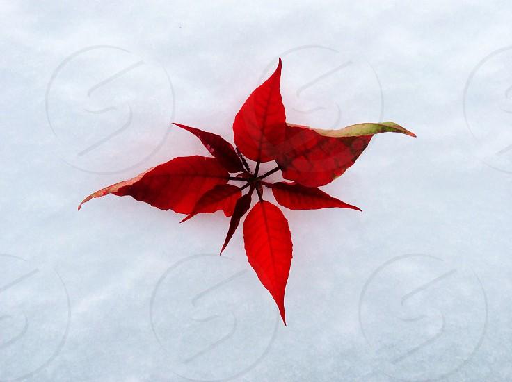 red poinsettia leaf photo