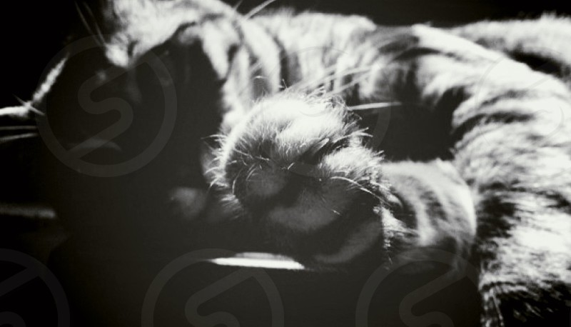 grayscale picture of cat photo