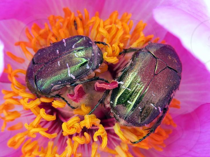 bug beetle two pair flower insect animal feeding nectar nature color horizontal macro close up shining photo