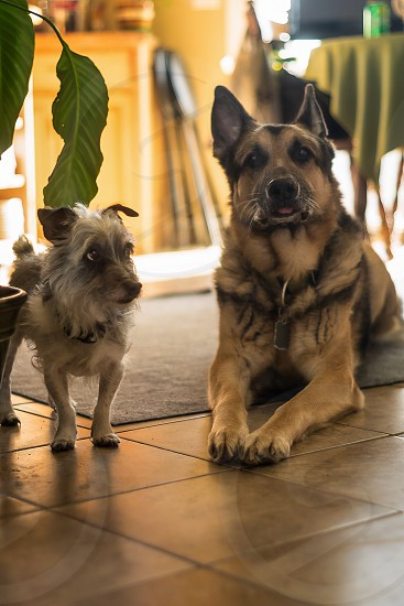 Dogs Animals Pets Friends Companions Love Loyal Canine German Shepard Jack Russell Terrier  photo