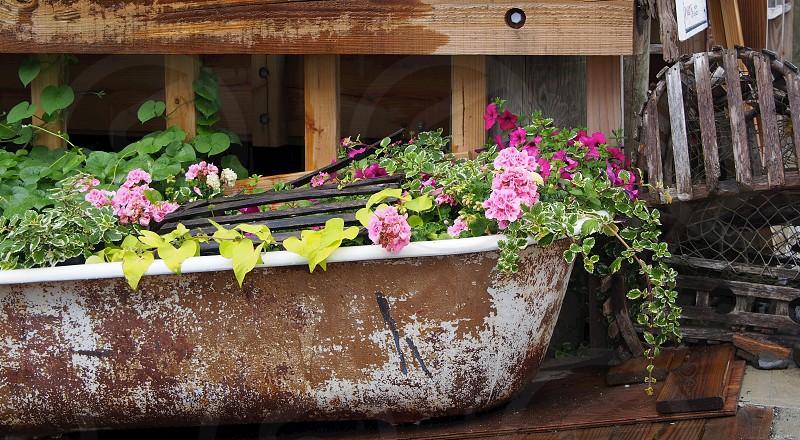 Bathtub. Flowers. Acadia.  photo