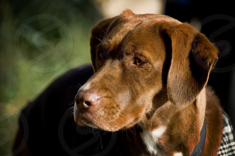 A photo of a brown hunting dog. photo