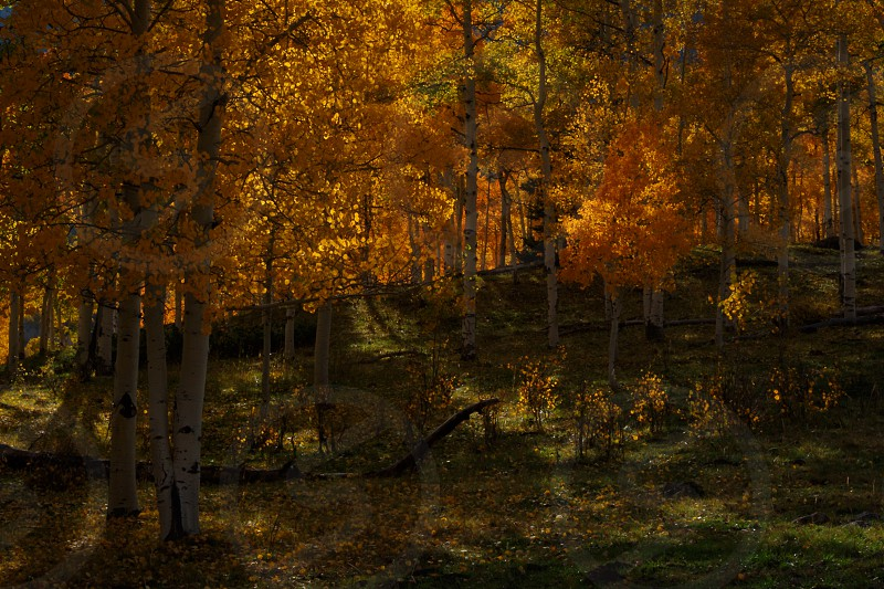Sunlight filtering thru aspen trees in San Juan Mountains near Ridgway Colorado photo