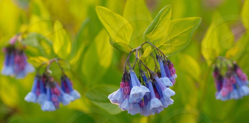 Virginia bluebells. Spring. Flowers.  photo
