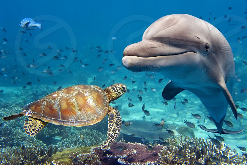 dolphin and turtle underwater on reef background looking at you photo