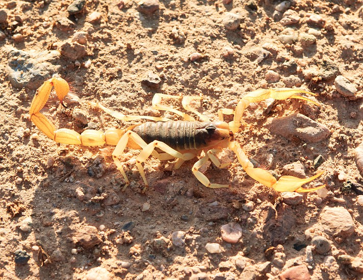 A Giant Hairy Scorpion native to Arizona stretched out in the early morning sun. photo