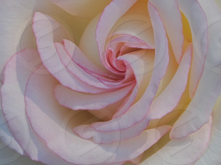 Closeup of center of blossomed pink rose with darker tips photo