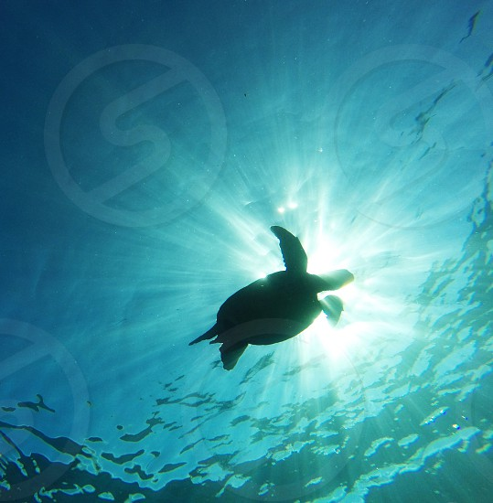 Turtle in the oceans of Hawaii photo