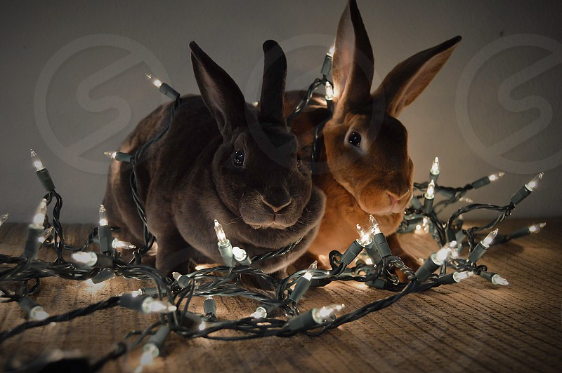 Bunny Christmas Animal photo