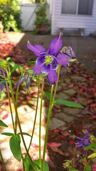 Purple flower wildflowers columbine photo