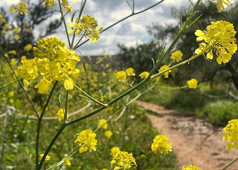 Yellow wildflowers grow wild along a path photo