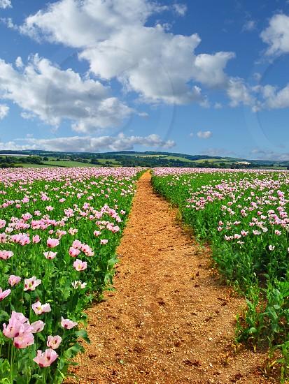 pink flower fields photo