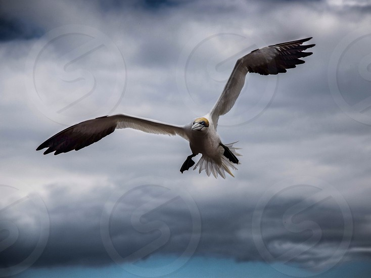 Flying gannet! photo