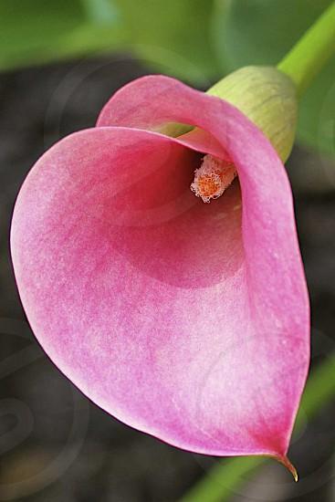 Pink Calla Lily St. Helena Island SC photo