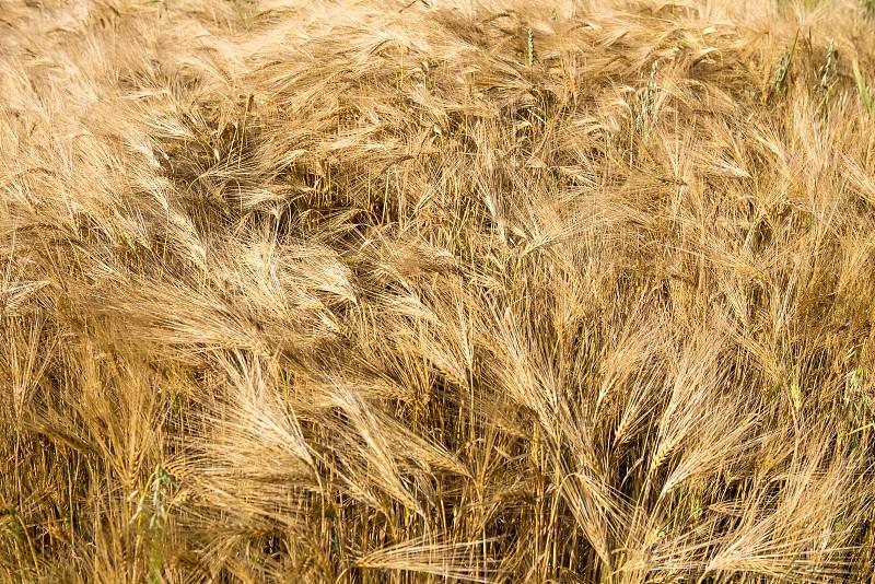 ripe rye photo