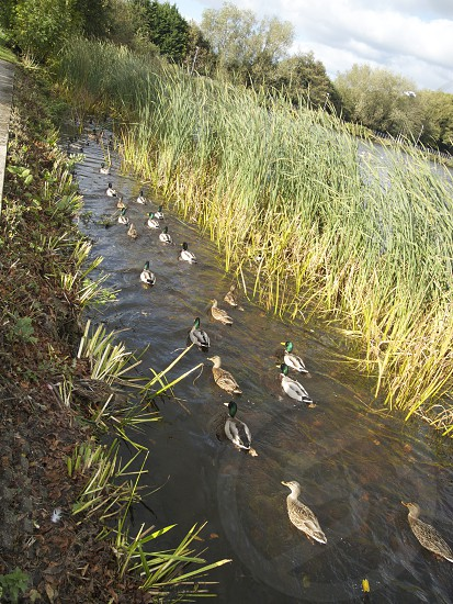 ducks forming a line along river beside brown grass photo
