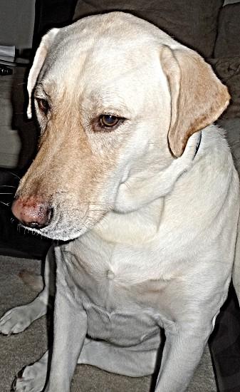 Sitting dog a yellow lab.  photo