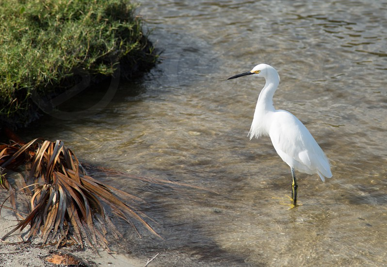 Egret looking for food photo