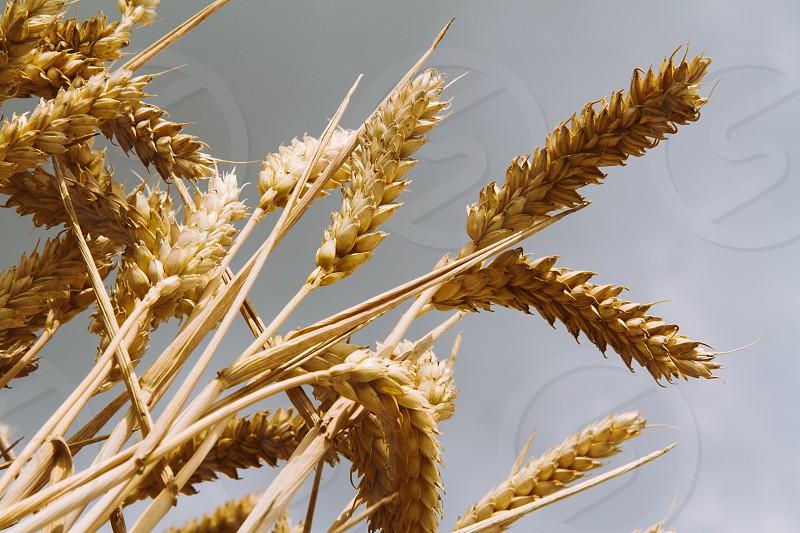 farm wheat grain table food nature field farmer summer day gold bread flower photo