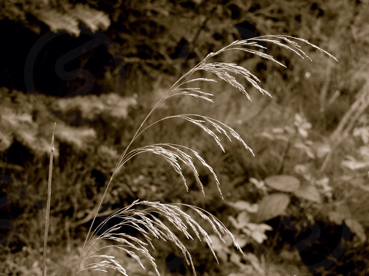 Woodland Grasses. Taken in Whinlatter Forest in the English Lake District.  photo