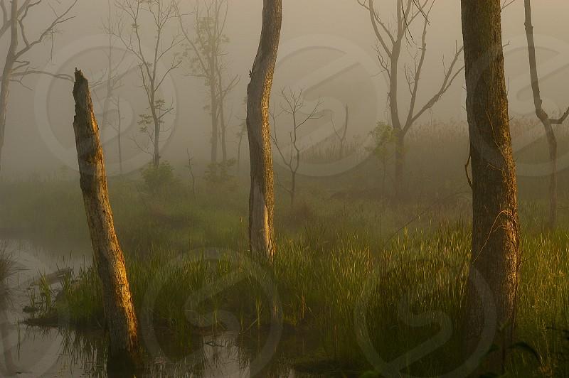 Trees. Dead trees. Sunlight. Swamp.  photo