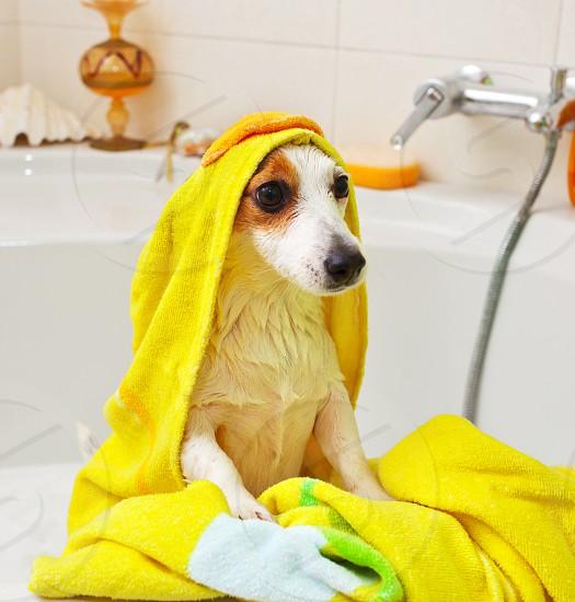 Jack Russell dog taking a bath in a bathtub photo