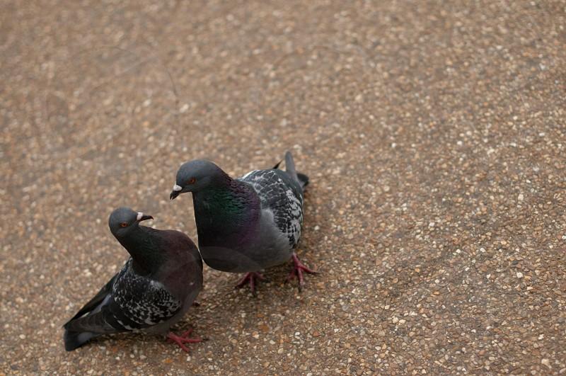 Romantic Love pigeons photo