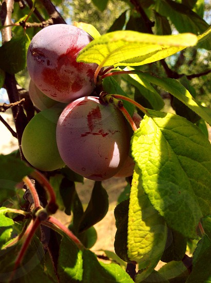 Plums on the tree photo