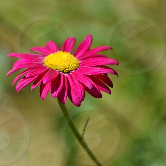 A bright pink daisy on green background photo